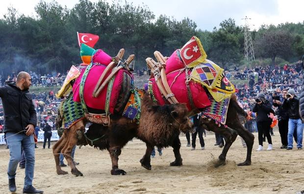 selcuk-efes-deve-guresleri-festivali (7)