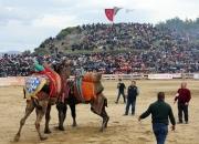 selcuk-efes-deve-guresleri-festivali (5)