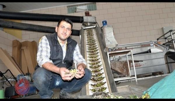 Çiftçisi de İş Adamı da, Zeytin Hasadını Bekliyor